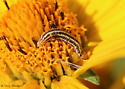 caterpillar on oxeye sunflower - Homoeosoma