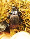 Sphaeroderus bicarinatus - male