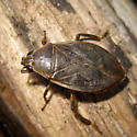Giant Water Bug - Belostoma