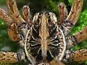 Wolf Spider - Hogna lenta - male