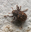 Apteromechus ferratus? - Apteromechus ferratus