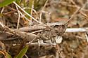 Brown Grasshopper - Chorthippus - female