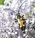 Brachyleptura vexatrix