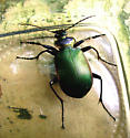 Firey Searcher? At least I'm fairly sure that's what it is. - Calosoma scrutator