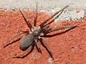 Spider - Kukulcania hibernalis