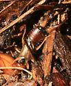 European Earwig  - Forficula auricularia - male