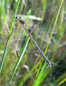 damselfly? - Lestes unguiculatus