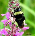 Bombus terricola or pennsylvanicus? - Bombus terricola - female