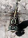 Dragonfly identification help - Phyllogomphoides albrighti