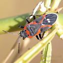 Small Milkweed Bug - Lygaeus kalmii or reclivatus? - Lygaeus kalmii
