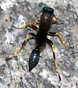 Sceliphron caementarium - female