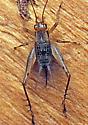 Cricket - Anaxipha - female