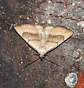 Brown-Lined Owlet Moth - Macrochilo litophora