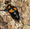 Picnic beetle? - Glischrochilus fasciatus