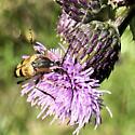 Longhorn beetle -- Leptura obliterata? - Etorofus obliteratus
