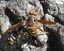 wasp ? yellowjacket ? - Spilomyia kahli