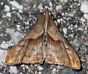 Dark-spotted Palthis - top - Palthis angulalis