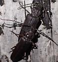 Arhopalus foveicollus - Arhopalus foveicollis - male - female
