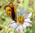 Butterfly - Lycaena helloides - female