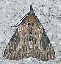 Omphalocera cariosa