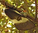 7730 – Hemileuca maia - Buck Moth - Hemileuca maia - female