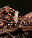 Rumex Coleophora ID Requests - Coleophora benestrigatella