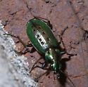 Green beetle with nine dents - Agonum octopunctatum