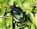 Beetle? - Phanaeus vindex