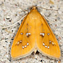 White-spotted Orange Moth - Hodges#5253 - Diastictis argyralis