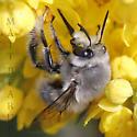 Digger Bee - Anthophora