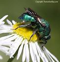Cuckoo Wasp - Hedychrum