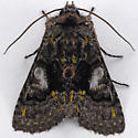 Unknown Noctuid - Behrensia conchiformis