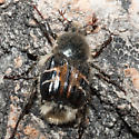Hairy Flower Beetle - Trichiotinus assimilis
