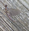some Ephemeroptera - Leptophlebia