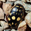 Thermonectus marmoratus? - Thermonectus marmoratus