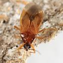 Lyctocoris campestris? - Amphiareus obscuriceps