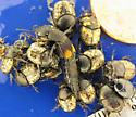 Onthophagus nuchicornis
