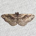 Bent-line Carpet Moth - Hodges #7416 - Costaconvexa centrostrigaria - female