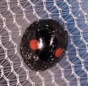Beetle for ID - Chilocorus