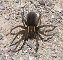 Large Fishing Spider - Dolomedes triton - female