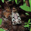 Moth sp. - Elaphria