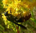Wasp - Scolia dubia