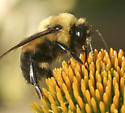 Which Bumble Bee Please? - Bombus griseocollis - male