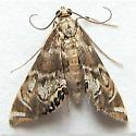 Petrophila confusalis