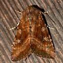 Veiled Ear Moth - Loscopia velata