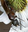 3013856 ant - Camponotus novaeboracensis - female