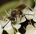 Andrena crataegi ? - Andrena crataegi - male