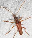 Lepturinae? - Stenocorus cinnamopterus
