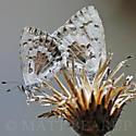 Blue Butterflies Mating - Celastrina echo - male - female