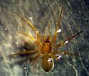 Aphileta misera - female